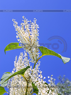 Pflanze mit weißen Blüten | Foto mit hoher Auflösung |ID 3038765