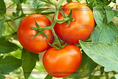 Bunch with three red tomatoes | High resolution stock photo |ID 3038795