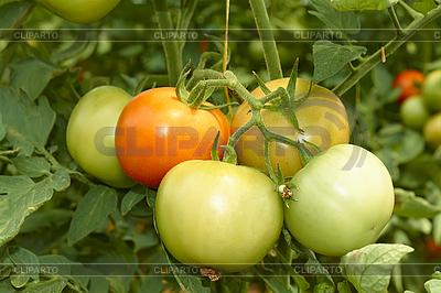 Tomaten | Foto mit hoher Auflösung |ID 3038809