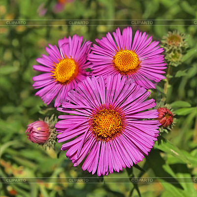 Three asters | High resolution stock photo |ID 3060636