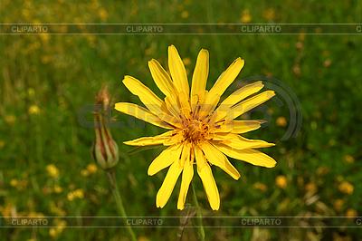 Полевые цветы желтые название