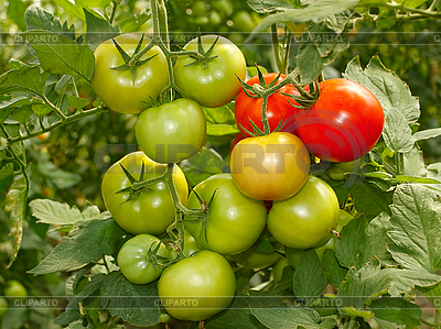 Bunch with green and red tomatoes | High resolution stock photo |ID 3066416