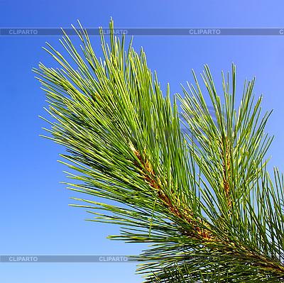 Green pine branch | High resolution stock photo |ID 3066551