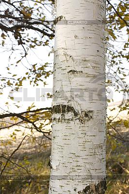 White birch tree trunk | High resolution stock photo |ID 3066684