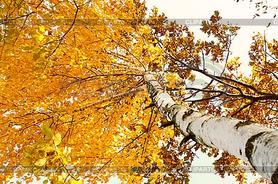 Brzoza w jesieni   Foto stockowe wysokiej rozdzielczości  ID 3066685