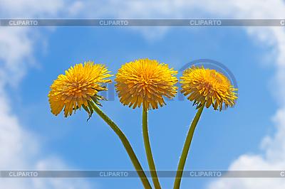 Three dandelion flowers | High resolution stock photo |ID 3066913