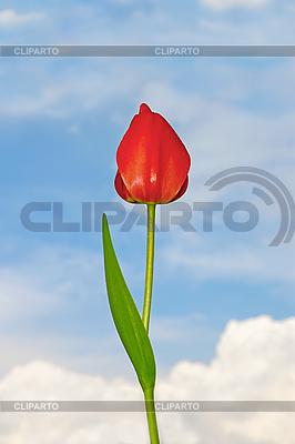 Tulip flower | High resolution stock photo |ID 3066946