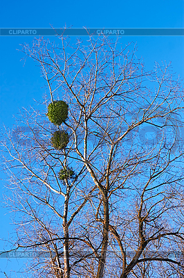 Mistletoe plant on birch tree | 높은 해상도 사진 |ID 3176462