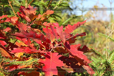 Bright red oak leaves in autumn season   High resolution stock photo  ID 5329212