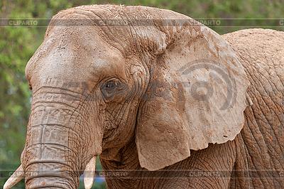 Portret słonia | Foto stockowe wysokiej rozdzielczości |ID 3038208