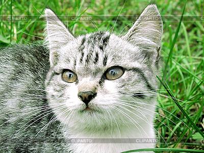 Graue Katze   Foto mit hoher Auflösung  ID 3078705
