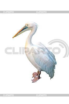 Белый пеликан | Фото большого размера |ID 3039810