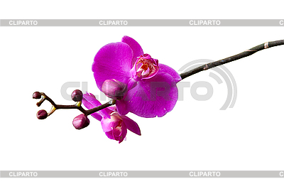 Orchid   High resolution stock photo  ID 3039831