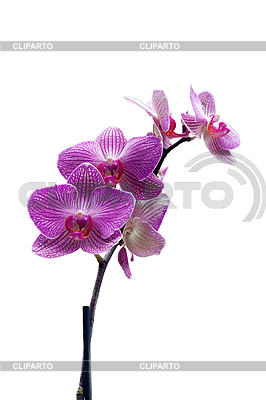 Orchid | High resolution stock photo |ID 3039833