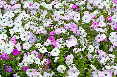 Pole kolorowe petunie | Foto stockowe wysokiej rozdzielczości |ID 3040501
