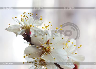 사쿠라 꽃 | 높은 해상도 사진 |ID 3234873