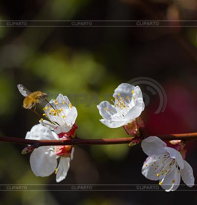 Насекомое собирает нектар | Фото большого размера |ID 3237113