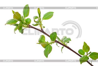 Ветка яблони с зелеными почками | Фото большого размера |ID 3040012
