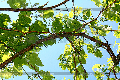 Leaves of vine on the blue background of sky | High resolution stock photo |ID 3041137