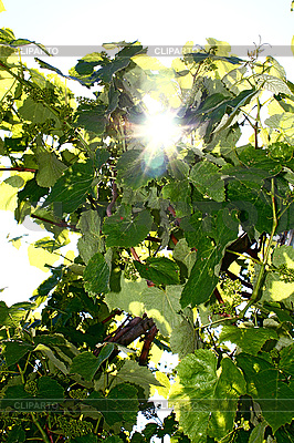 Sun lighting through the leaves of vine | High resolution stock photo |ID 3041302