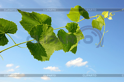 Grape-vine and blue sky | High resolution stock photo |ID 3042416