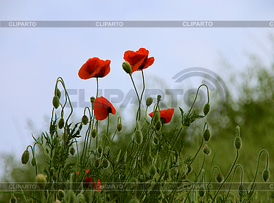 Poppies | High resolution stock photo |ID 3079361