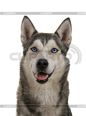 시베리안 허스키 강아지 | 높은 해상도 사진 |ID 3068008