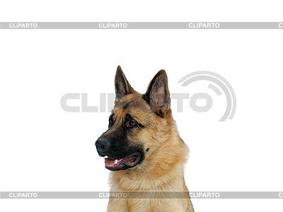 Schäferhund im Profil | Foto mit hoher Auflösung |ID 3045449