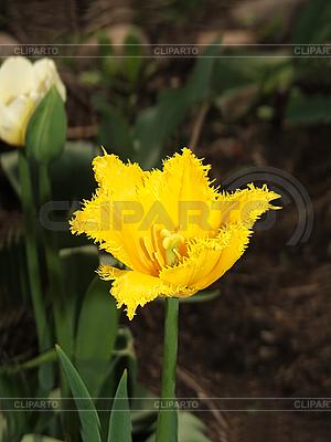Gelbe Tulpe | Foto mit hoher Auflösung |ID 3045462