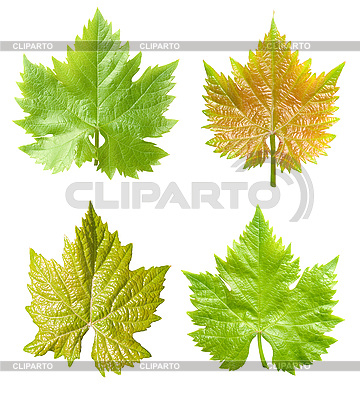 Vine leaves set | High resolution stock photo |ID 3049263