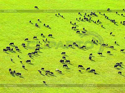 Stado krów   Foto stockowe wysokiej rozdzielczości  ID 3049364