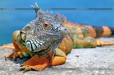 Variegated lizard | High resolution stock photo |ID 3049436