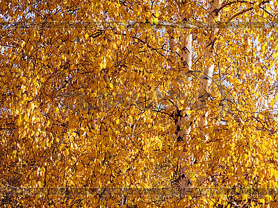 Yellow birch   High resolution stock photo  ID 3049471