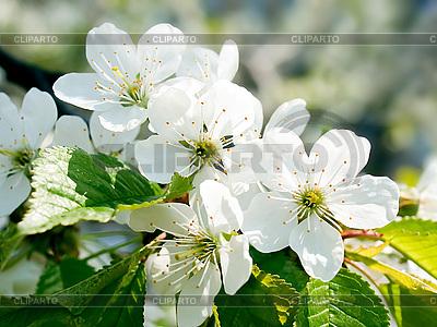 Blühende Kirsche | Foto mit hoher Auflösung |ID 3049529
