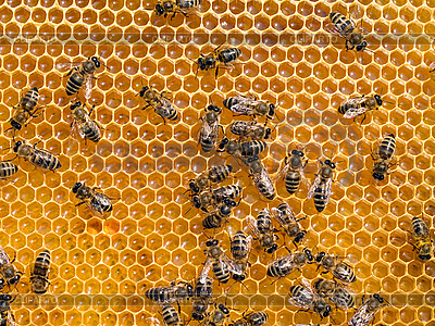 Пчелы | Фото большого размера |ID 3049537