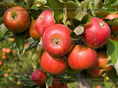 Czerwone jabłka | Foto stockowe wysokiej rozdzielczości |ID 3059330