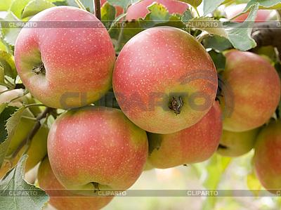 Czerwone jabłka | Foto stockowe wysokiej rozdzielczości |ID 3059334