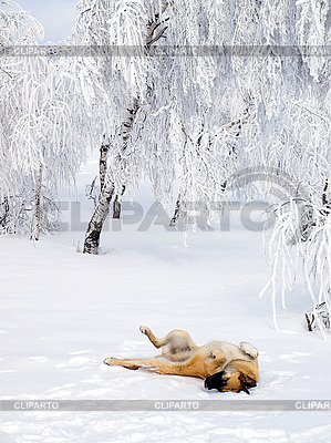 Hund spielt im Schnee | Foto mit hoher Auflösung |ID 3117849
