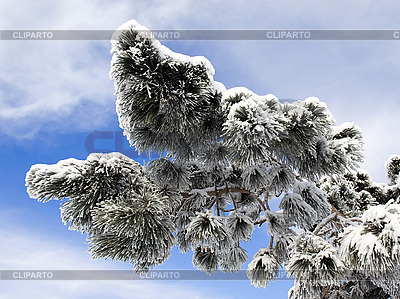 Pine tree in snow | High resolution stock photo |ID 3117864