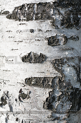 Birch cortex | High resolution stock photo |ID 3050648