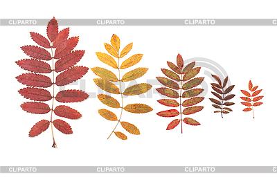 Blätter der Eberesche | Foto mit hoher Auflösung |ID 3050736