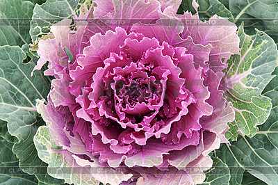 Violet cabbage | High resolution stock photo |ID 3066146