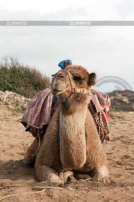Kamel sitzt | Foto mit hoher Auflösung |ID 3067228