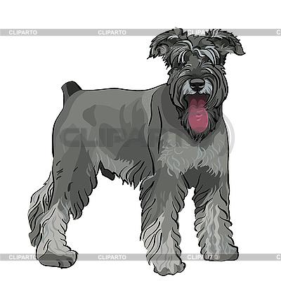 Zwergschnauzer Hund mit hängender Zunge | Stock Vektorgrafik |ID 3060112