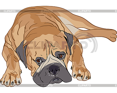 Purebred Bullmastiff   Stock Vector Graphics  ID 3060125