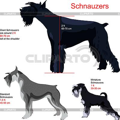 Schnauzer | Stock Vektorgrafik |ID 3070556