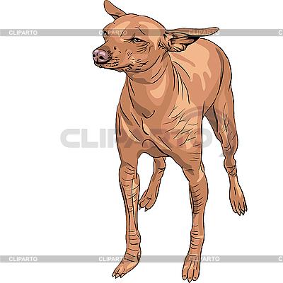 Mexican Hairless Dog Xoloitzcuintle Rasse | Stock Vektorgrafik |ID 3109087