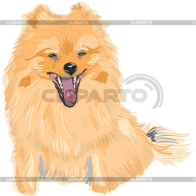 Color sketch of dog German Toy Pomeranian breed smile | Stock Vector Graphics |ID 3307021