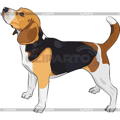 Szkic psa rasy Beagle | Klipart wektorowy |ID 3341151