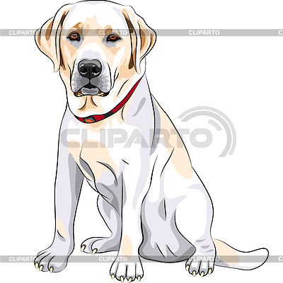 Sketch yellow dog breed Labrador Retriever sitting | Stock Vector Graphics |ID 3345737